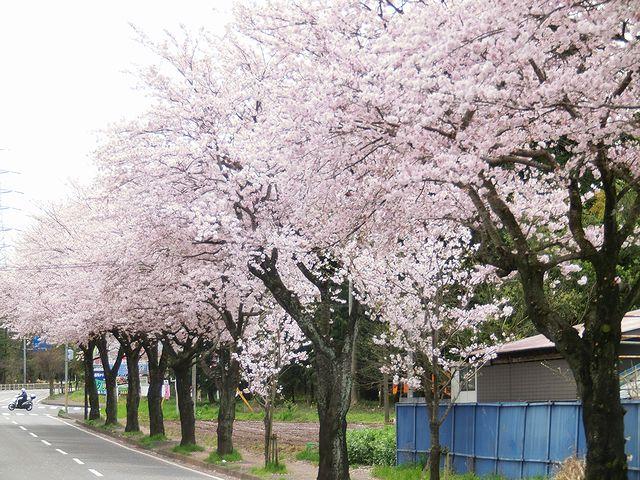 キャンピングカー 桜並木