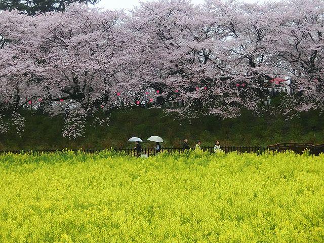幸手権現堂(ごんげんどう)桜堤