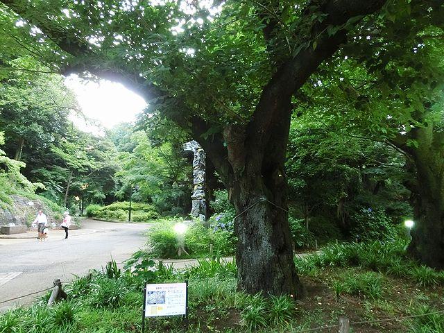 桜 基準木